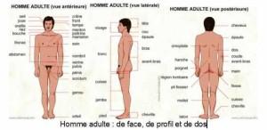 ob_ebd0db_le-corps-humain-1